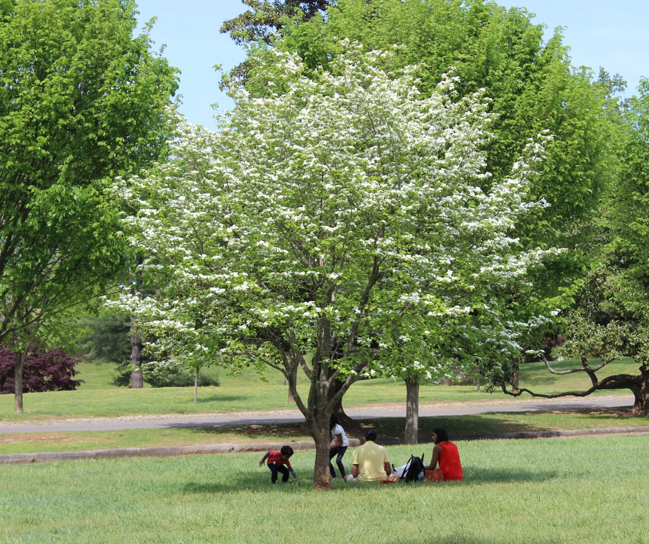 A group of people enjoy the shade of a flowering tree at Maymont